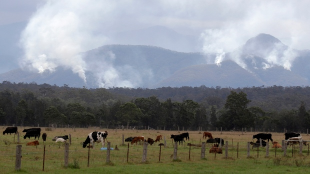 Cattle graze in a field as smoke rises from burning fires on mountains near Moruya, Australia, Thursday, Jan. 9, 2020. (AP Photo/Rick Rycroft)