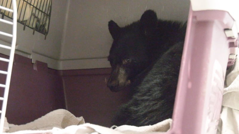 Anmore resident Mike Robson took the tiny cub, which was huddled under his neighbour's patio table, to the Critter Care Wildlife Society in Langley after he said conservation officers refused to look into his wife's report about the bear.