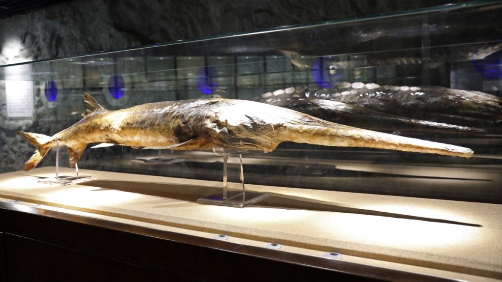 A Chinese paddlefish specimen