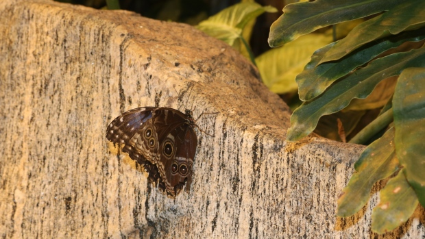 A butterfly rests on a rock at Science North's F. Jean MacLeod Butterfly Gallery on Jan. 10, 2020. (Marina Moore / CTV News Northern Ontario)
