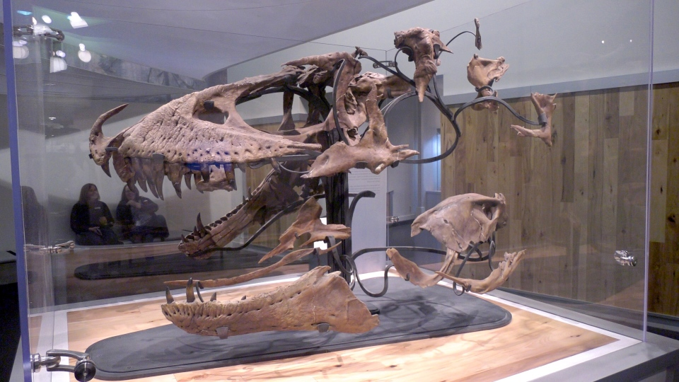 A 77.3 million-year-old daspletosaurus is now on display at the Royal Tyrrell Museum.