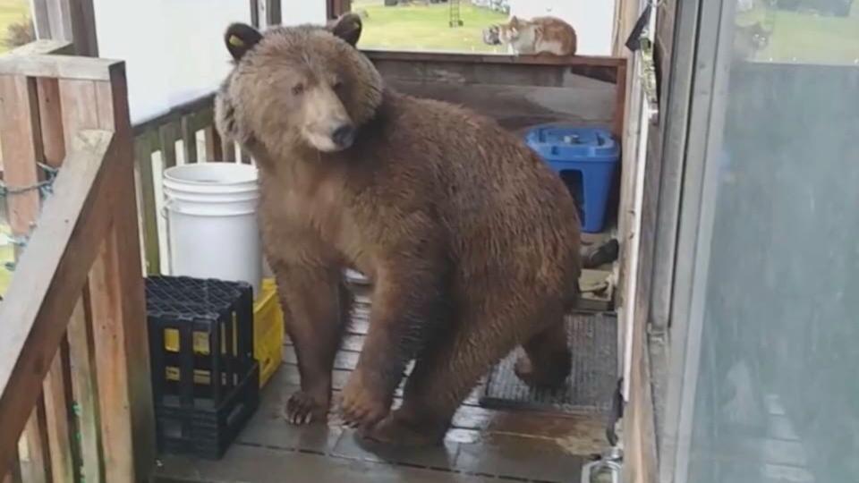 Gatu grizzly bear
