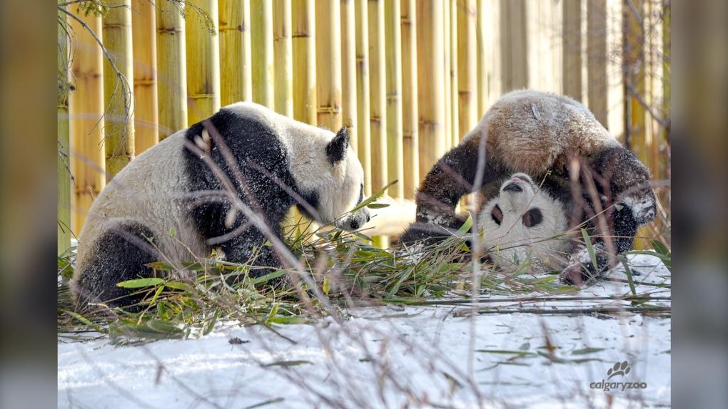 Calgary Zoo giant pandas