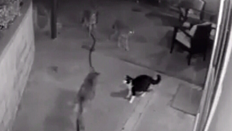 Caught on camera: Cat fights off three coyotes