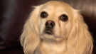 The Claytons registered Charlie as an emotional support dog through Assistance Dogs of America, which is not recognized in Alberta.
