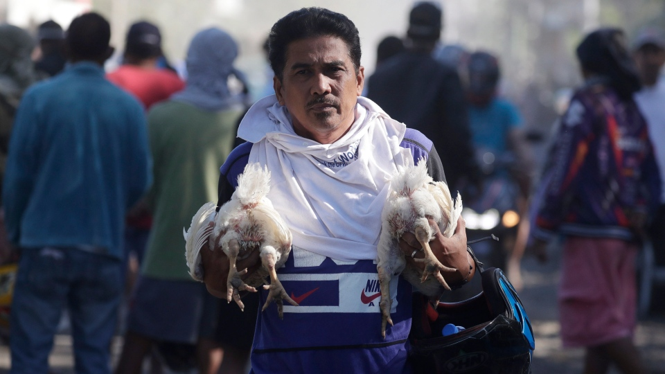 A man carries chickens as authorities enforced total evacuation of residents living near Taal volcano in Agoncillo town, Batangas province, southern Philippines on Thursday Jan. 16, 2020. (AP Photo/Aaron Favila)