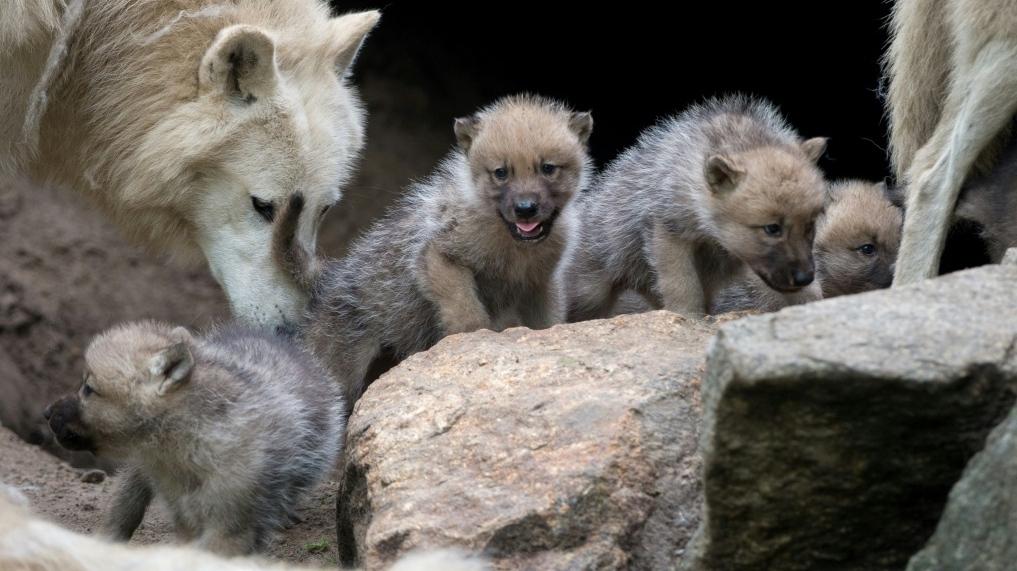 Wolf puppies
