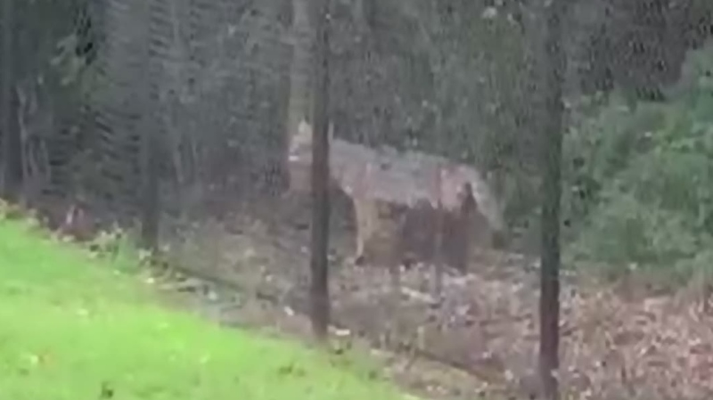 Video of possible coyote lurking near LaSalle home