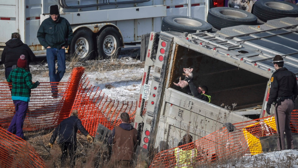 Crews Round Up Over 1,700 Piglets After Semi Overturns
