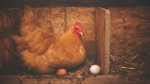 This is a file photo of a hen. (Alison Burrell/Pexels)