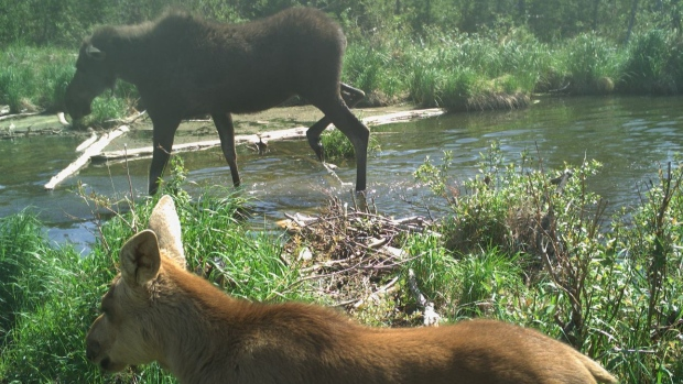The Fort McKay First Nation shared these incredible wildlife images caught by motion-sensor cameras in the rugged, raw and pristine part of northern Alberta known as Moose Lake. (Courtesy Ryan Grandjambe/Fort McKay First Nation)