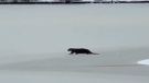 Otter spotted in Stanley Park