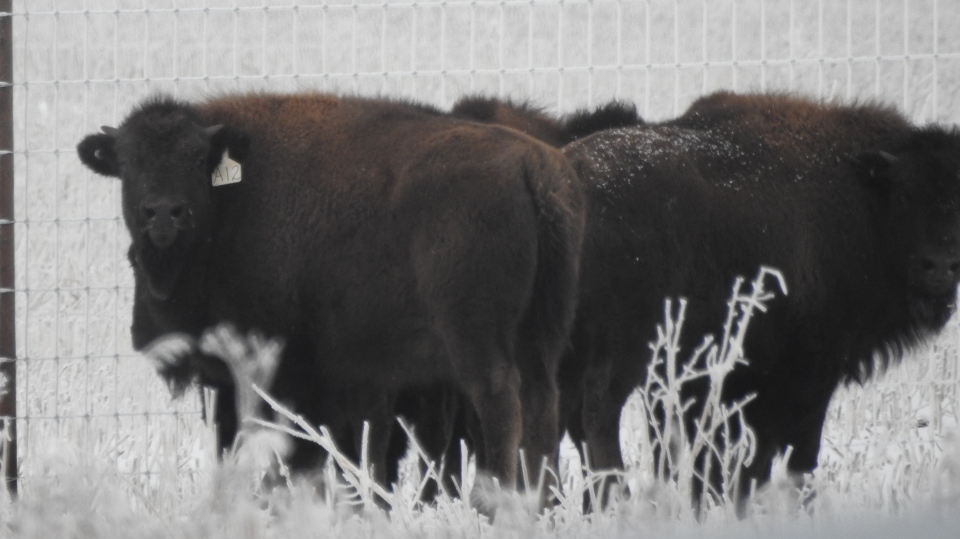 Wanuskewin Heritage Park now has a small herd of bison. (Courtesy Wanuskewin Heritage Park)