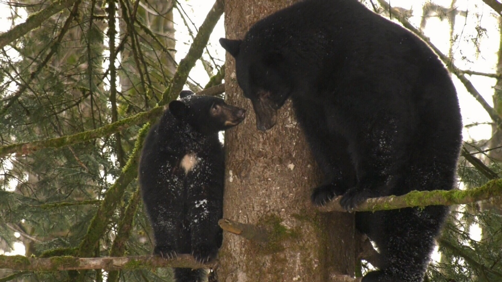 Watch this family of bears live and play in a tree on Vancouver Island