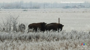 Bison return to Wanuskewin