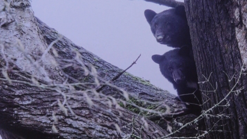 Family of bears spotted living in island tree