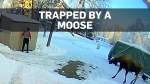 Alaska man has to think fast after moose sneaks up