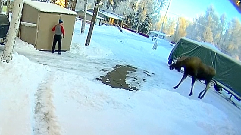 Man comes face-to-face with bull moose