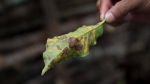 In this May 22, 2014 photo, coffee producer Alexander Illescas shows a coffee leaf that has damage from the coffee rust fungus in Ciudad Vieja, Guatemala. The airborne disease strikes coffee plants, flecking their leaves with spots and causing them to wither and fall off. (AP Photo/Moises Castillo)