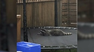 Residents concerned about 'aggressive' raccoons