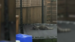 A raccoon basks on a trampoline in Richmond's Burkeville neighbourhood. (Submitted)