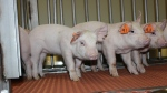 African Swine Fever has spread from Africa to parts of Europe and Asia. (VIDO-InterVac)