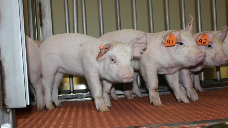 Pigs involved in African Swine Fever vaccine testing are pictured at the University of Saskatchewan. (Courtesy VIDO-InterVac)
