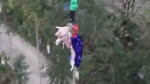 A pig pushed into bungee jumping off a 68-metre-high platform is pictured in this video screengrab.