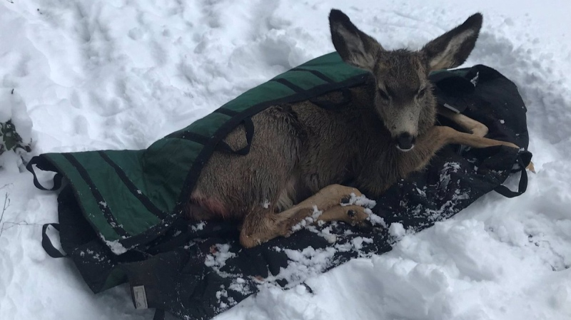 B.C. Conservation officers and crews from the Penticton Fire Department rescued an injured mule deer that had run out on a frozen lake, likely to escape a hungry coyote. (BC Conservation Officer Service/Facebook)