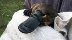A new study warns that the platypus population will be halved by 2070 unless action is taken to protect it from the effects of development and climate change. (Tahnael Hawke / University of New South Wales)