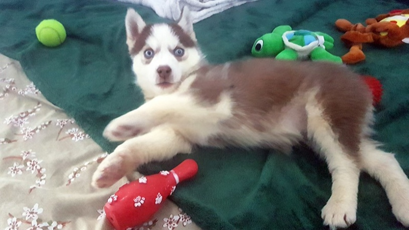 Uki, the smallest of 17 husky puppies up for adoption in January 2019, has found a new home. (SPCA photo)