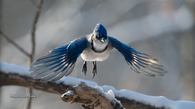 A Blue Jay on the move. (John Law/CTV Viewer)