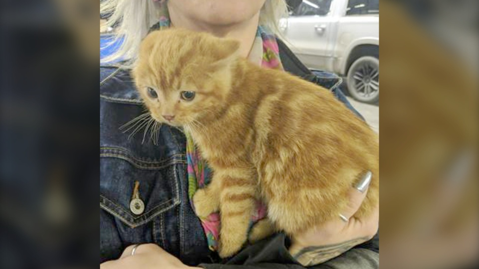 This kitten hitched a ride from Picture Butte to Calgary in the engine compartment of a pickup and ended up finding a new  home. (Courtesy Jen Schielke)