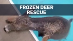Deer rescued after falling into freezing cold swim
