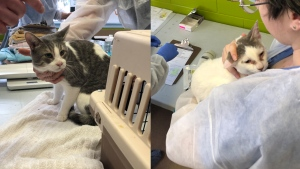 Two of the 80 cats that were removed from a home in Guelph. (Source: Guelph Humane Society)
