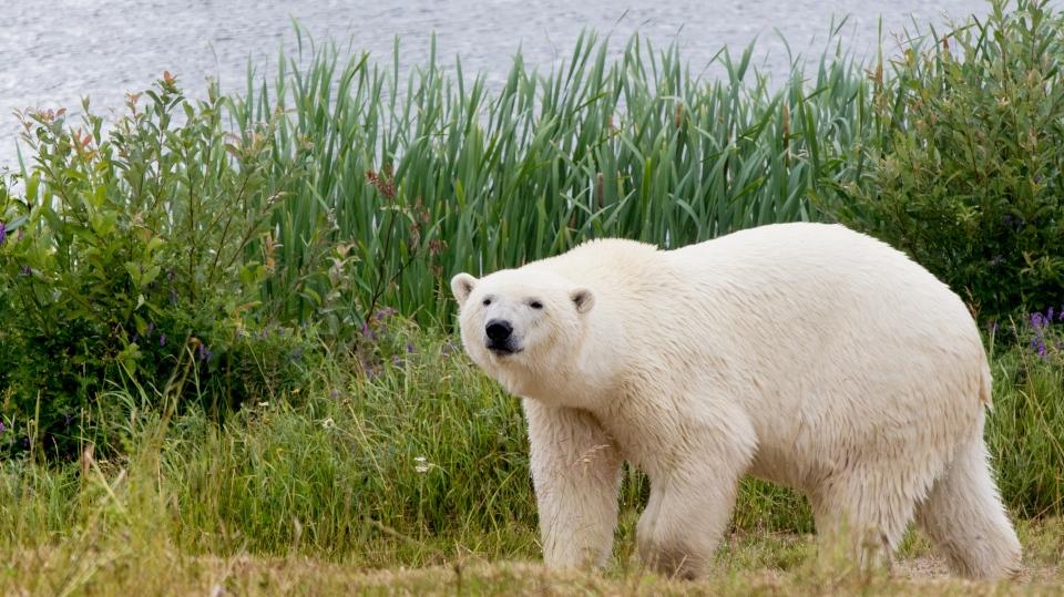 10-year-old polar bear, Taiga, at Cochrane habitat