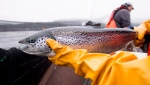 "An Atlantic salmon is seen during a Department of Fisheries and Oceans fish health audit at the Okisollo fish farm near Campbell River, B.C. Wednesday, Oct. 31, 2018. A conservation group is calling for immediate action to address what they're calling ""a dramatic decline"" of Atlantic salmon in New Brunswick's Miramichi River. (THE CANADIAN PRESS /Jonathan Hayward)"