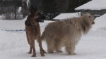 Timmins woman credits dogs with scaring off wolf Jan. 22, 2020 (Sergio Arangio /CTV Northern Ontario)
