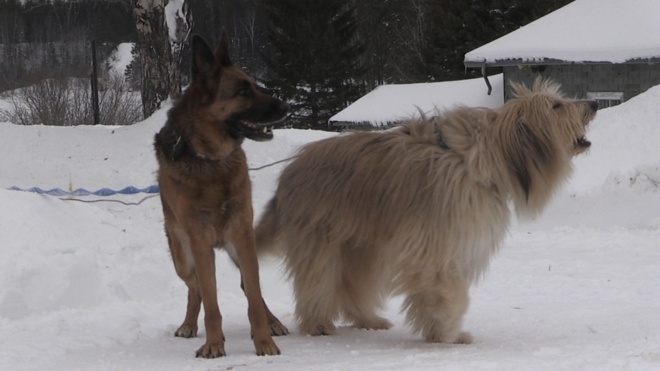 Dogs confronted by wolf in their Timmins yard