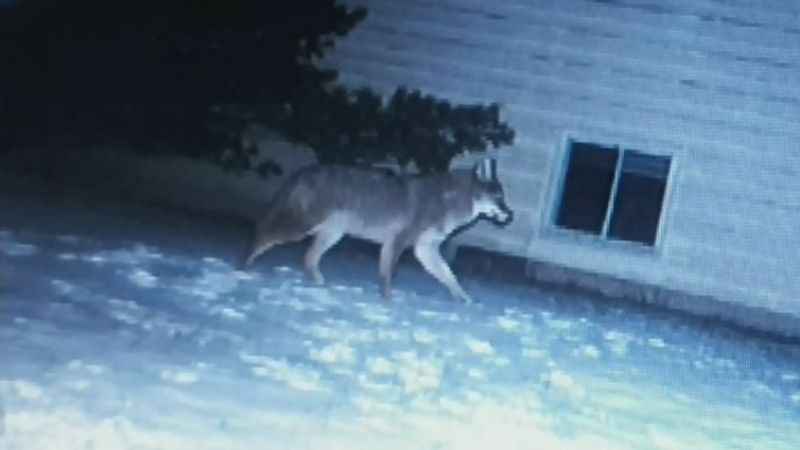 Coyotes on the prowl in Sambro