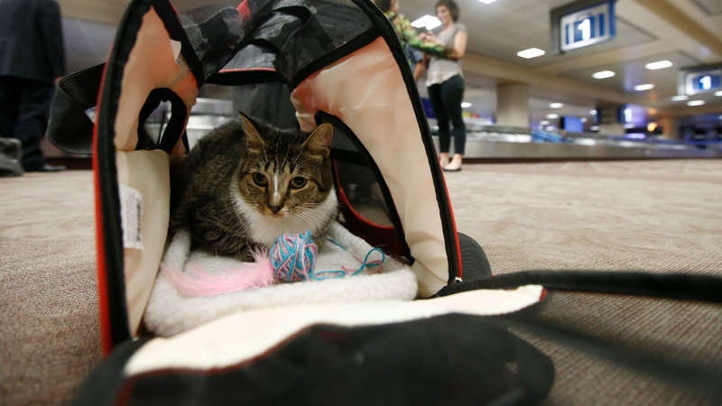 In this Sept. 20, 2017, file photo Oscar the cat, who is not a service animal, sits in his carry on travel bag after arriving at Phoenix Sky Harbor International Airport in Phoenix.  (AP Photo/Ross D. Franklin, File)