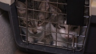Dozens of cats removed from Guelph apartment