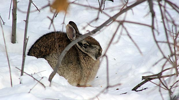Rabbit in the snow in Assiniboine Park. Photo by Mark Whatman.