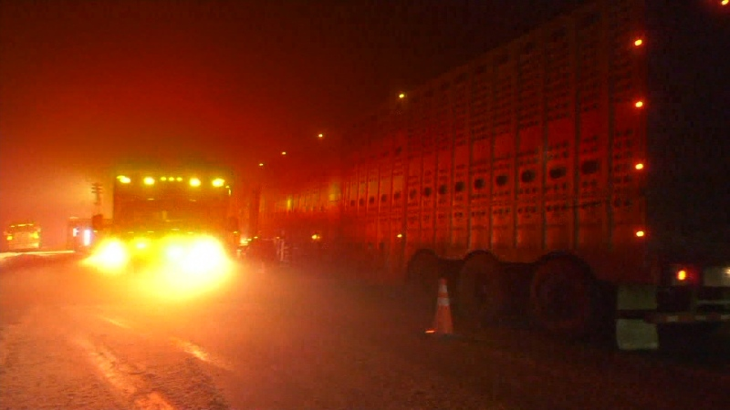 Cattle killed in highway crash