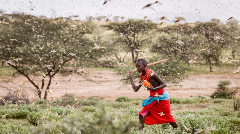 In this photo taken Thursday, Jan. 16, 2020, a Samburu boy uses a wooden stick to try to swat a swarm of desert locusts filling the air, as he herds his camel near the village of Sissia, in Samburu county, Kenya. (AP Photo/Patrick Ngugi)