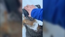 Kendall Diwisch discovered the trio of kittens frozen to the ice in Drayton Valley and poured out some lukewarm coffee to free them. (Kendall Diwish/Facebook)