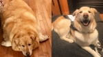 After nearly being euthanized by his previous owners, Kai lost more than 100 pounds in a year to become the healthy, happy pup he is today. (Courtesy Pam Heggie)