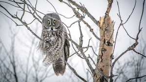 Beautiful owl in Lac Du Bonnet. Photo by Devon Massecar.