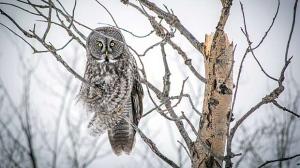 Beautiful owl in Lac Du Bonnet. Photo by Devon Massecar.