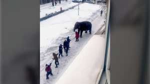 In this handout photo taken from a footage and released by Ksenia Tsybizova, Circus workers pull an elephant in Yekaterinburg, Russia, Friday, Jan. 24, 2020. (Ksenia Tsybizova via AP)
